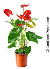 Florecer, planta, Anthurium/Flamingo, flores, maceta, isol