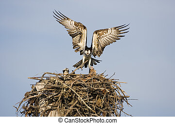 Osprey with a fish - An Osprey flies into the nest with a...