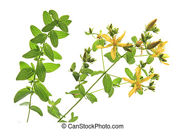 St Johns wort Hypericum perforatum, flower and leaves...