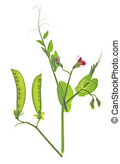 sugar pea (Pisum sativum) - flowering sweet pea or suger pea...
