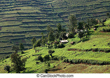 Rice Fields in Uganda, Africa - Rice Fields in Kisoro...