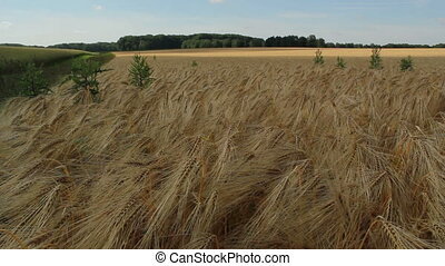Barley time lapse - Time lapse of barley field.