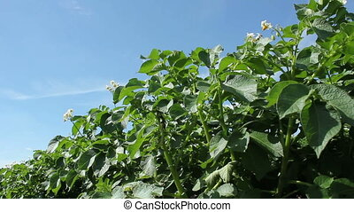 Potato Plants - Potato plants on a sunny summer day