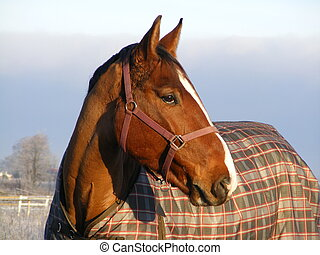 Bay horse in coat portrait in winter
