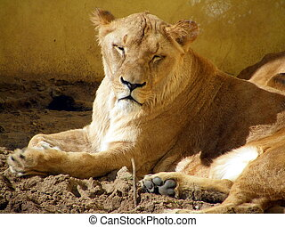 Resting lioness portrait in captivity
