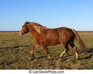 Palomino horse trotting - Palomino draught horse trotting at...