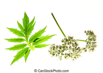Valerian (Valeriana officinalis) with flower and leaf...