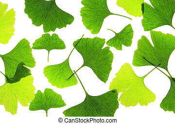 Ginkgo leaves Ginkgo biloba - Ginkgo leaves, before a white...