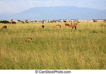 Impala Antelope, Uganda, Africa - Impala Antelope at...