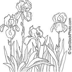 Iris - The sketch from a four flowers