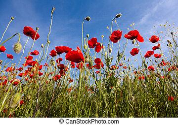 Poppy flowers against the blue sky Flower meadow in...