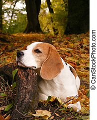 Beagle resting in autumn forest