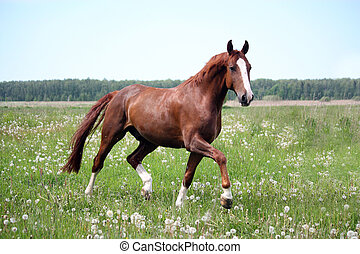Chestnut horse trotting at the field in summer