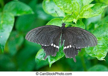 Unidentified species of Swallowtail Butterfly taken in...