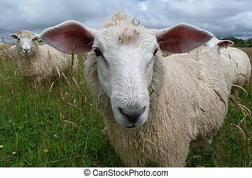 Romney lamb with large ears in meadow