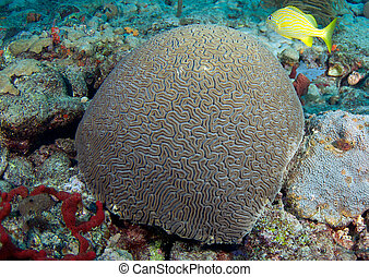 An excellent example of a Grooved Brain Coral