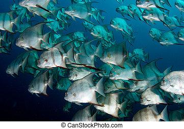 escuela, Spadefish, natación, alrededor, abierto,...