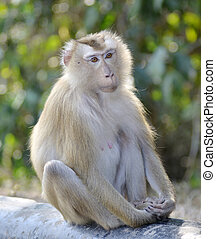 pig tailed macaque
