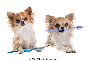 chihuahuas and toothbrush - portrait of purebred chihuahuas...
