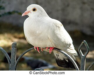 White dove on the metal fence - White dove - symbol of pecae...