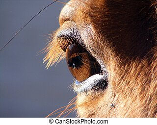 Brown horse eye - Beautiful bay horse eye close up