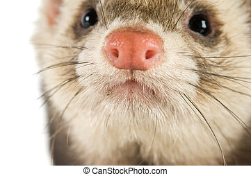 Ferret close up isolated on a white background