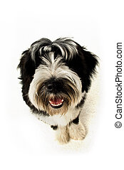 Tibetan terrier puppy isolated on a white background