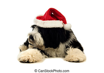Tibetan terrier puppy isolated on a white background wearing...