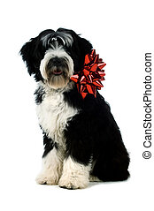 Tibetan terrier puppy isolated on a white background with a...