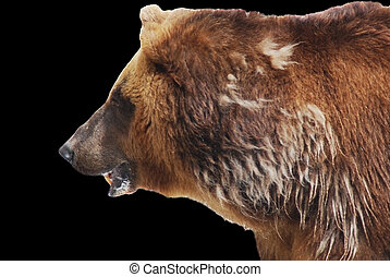 The brown bear close up isolated on black, wild life
