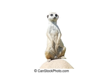Meerkat (Suricata suricatta) portrait isolated on white,...
