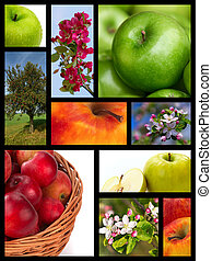 Apple collage - apples, apple tree, flowers, flowering,...