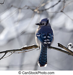 Bluejay With A Snowy Background - Bluejay perched on a tree...