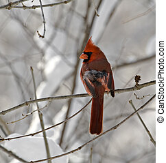 Male Northern Cardinal - Male northern cardinal perched on a...