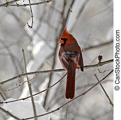 Male Northern Cardinal - Male northern cardinal perched on a...