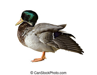 Mallard - Male mallard duck isolated on a white background