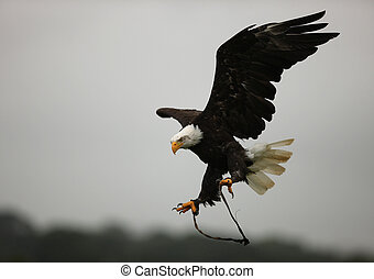 Bald Eagle - A Bald Eagle in flight