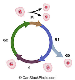 Cell cycle, eps8 - The phases of a cell cycle of an...