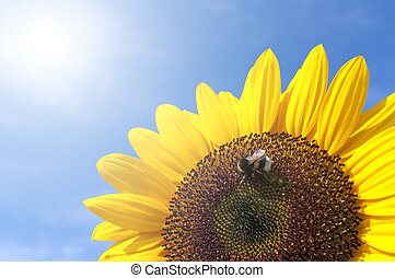 Sunflower With Bee - Beautiful Sunflower With Bee Against...