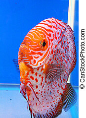 Tropical fish, Thailand - Tropical fish on display at Future...