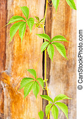 Trudging green plant against a wooden wall