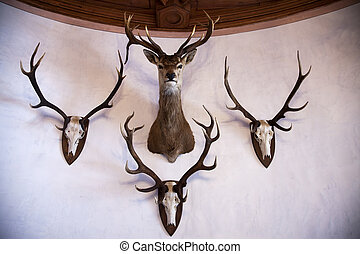 Trophies on a wall - Deer skulls and stuffed stag head hung...