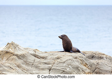 Sea Lion - A Hookers Seal Lion resting on a rock on the New...