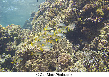 Shoal of snapper on a tropical reef - Shoal of Dory Snapper...