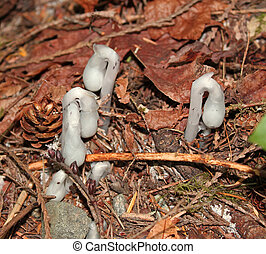 British Columbia Indian Pipe fungi. - Three close up British...