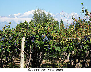 vineyard Mendoza Argentina - blue grapes in the vineyard by...