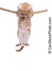 Red Norwegian forest kitten hanging on a rope
