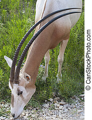 Scimitar-Horned Oryx - Endangered Species found in...