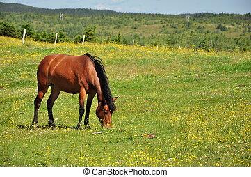 Ló, legelés, füves, mező