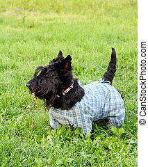 Scottish terrier dog in overalls walking in the park
